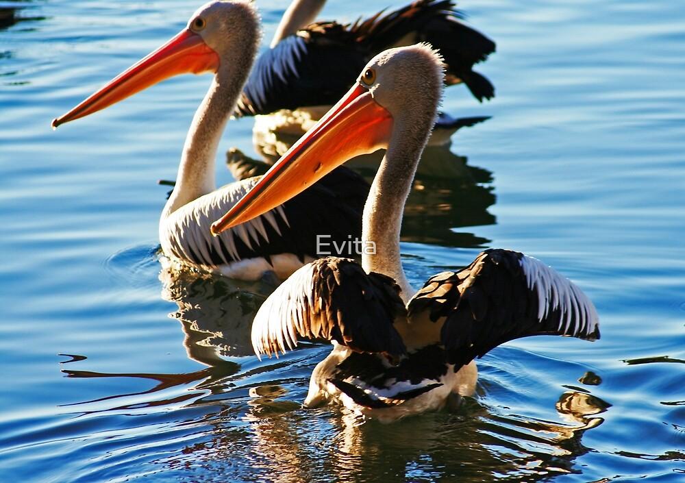Pelicans by Evita