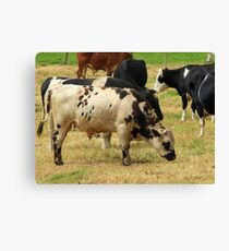 Grazing Cattle Canvas Print