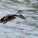 Grey Teal in flight (1030) by Emmy Silvius
