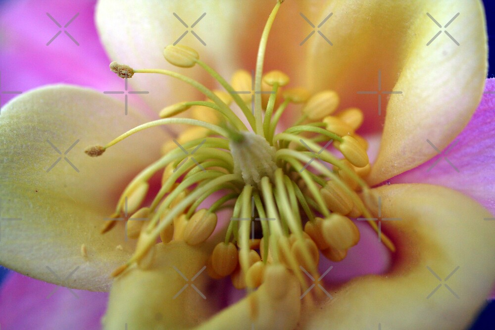 Pink & Yellow Columbine by mikrin