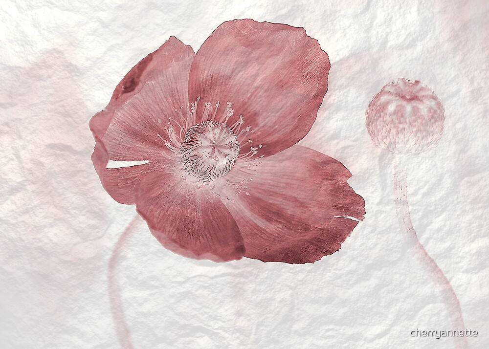 Pink Poppy by cherryannette