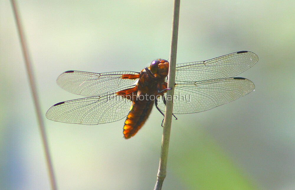 Dragon Fly 2 by jdmphotography