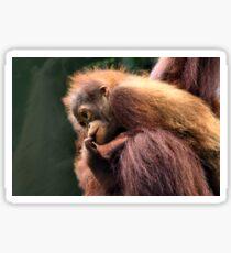 Baby Orangutan, Borneo  Sticker