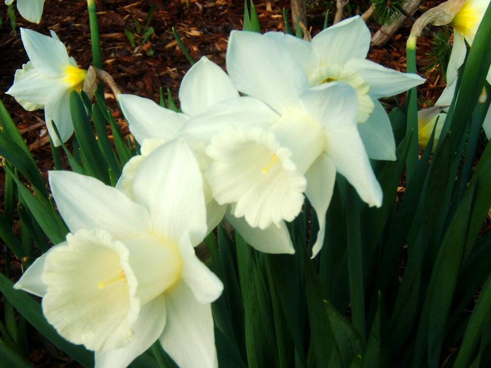 Daffodils by Stephanie  Williams