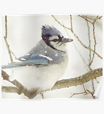 Snowy Blue Jay Poster