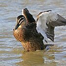 Pacific Black Duck (19) by Emmy Silvius
