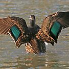 Pacific Black Duck (59) by Emmy Silvius