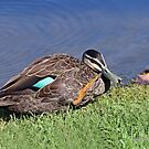 Pacific Black Duck (544) by Emmy Silvius