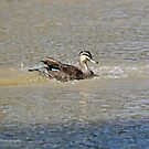 Pacific Black Duck (631) by Emmy Silvius
