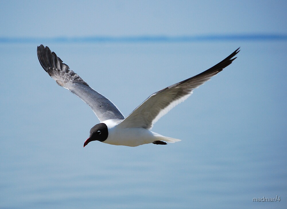 James River Gull Close-up by madman4