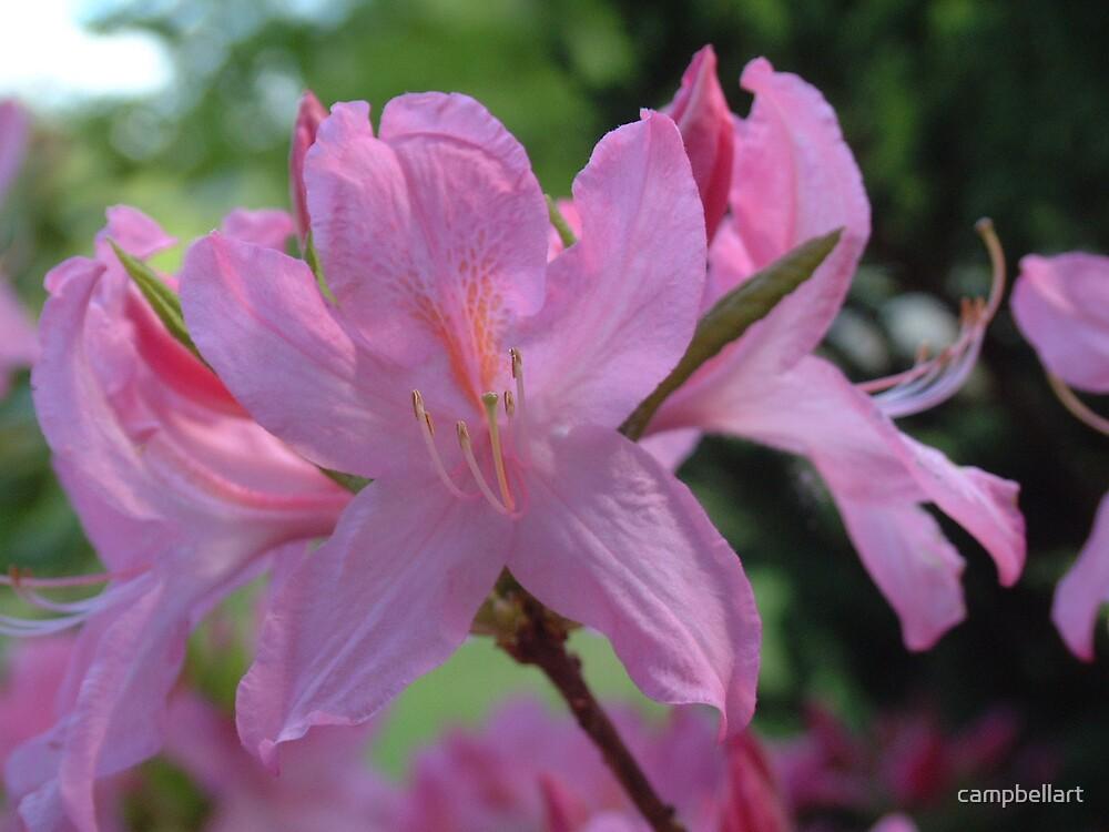 Pink by campbellart
