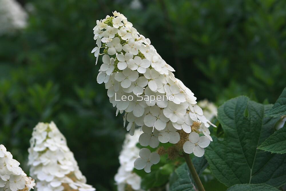 Oak Leave Hydrangea bloom by Leo Sapene