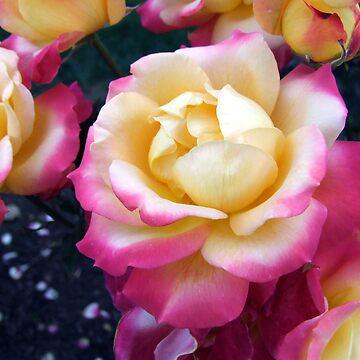 Portland Rose by Mayware