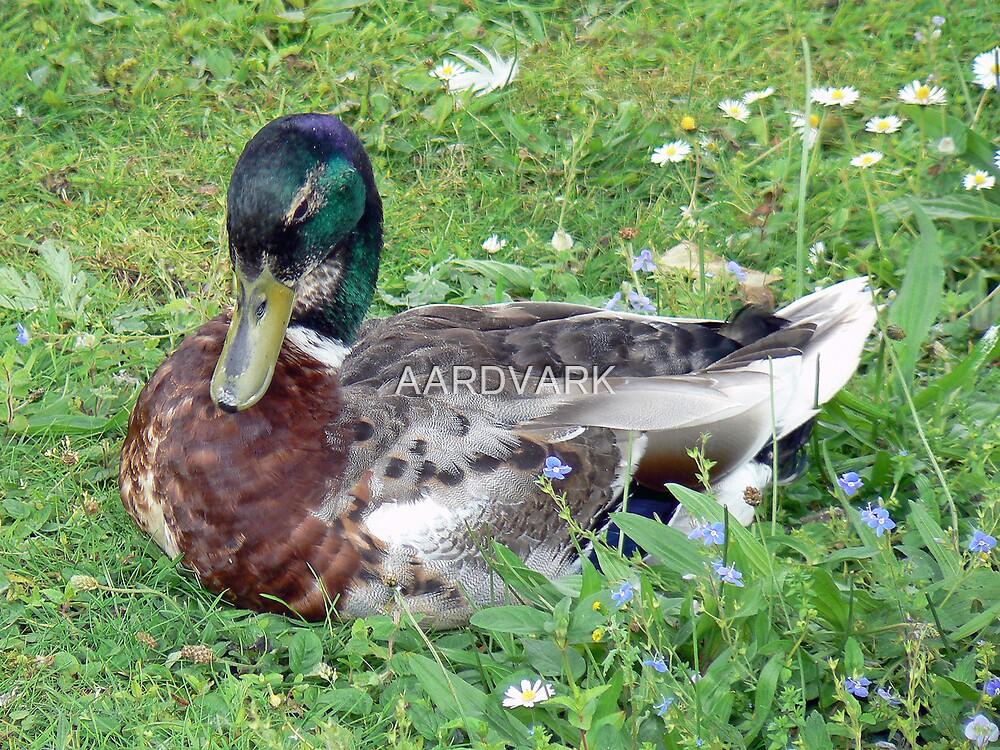 A Mallard Duck by AARDVARK
