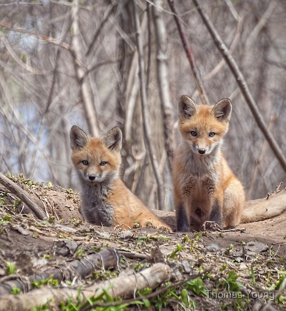 Kit Foxes 2011-1 by Thomas Young