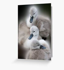Cygnets Greeting Card