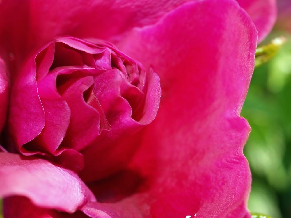 Seaside Rose by Jack McCallum
