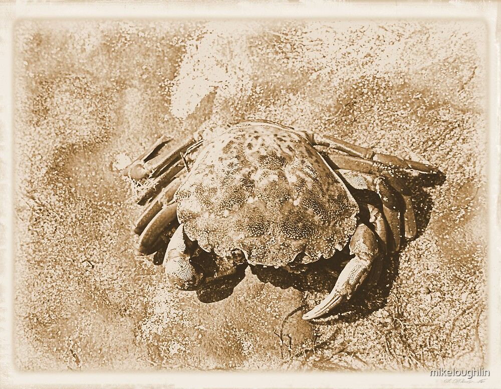 Crab on rock by mikeloughlin