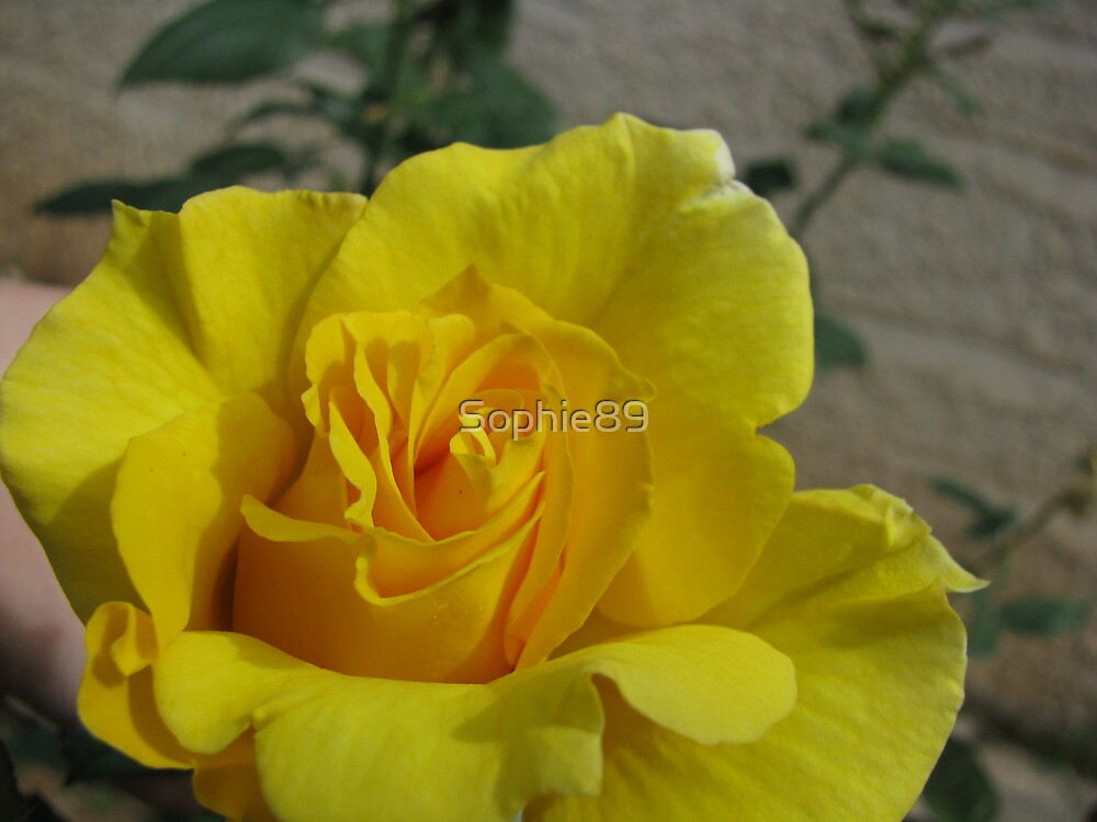 Yello Rose by Sophie89