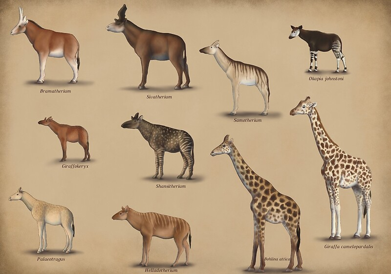 """Giraffidae- giraffe, okapi, and their extinct relatives"