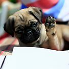 Puppy Pug by Yannik Hay
