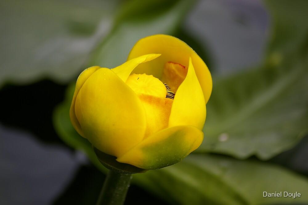 Yellow Lily Pad flower by Daniel Doyle