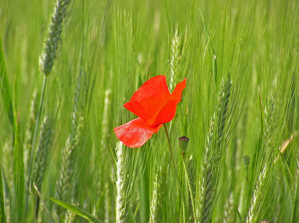 Poppy and Barley by Catherine Beldon
