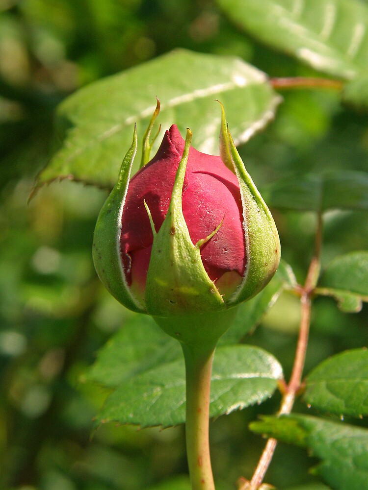 Rosebud by Catherine Beldon