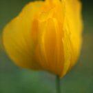 Poppy by Claire Armistead