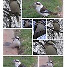 Kookaburras Feeding by 4spotmore