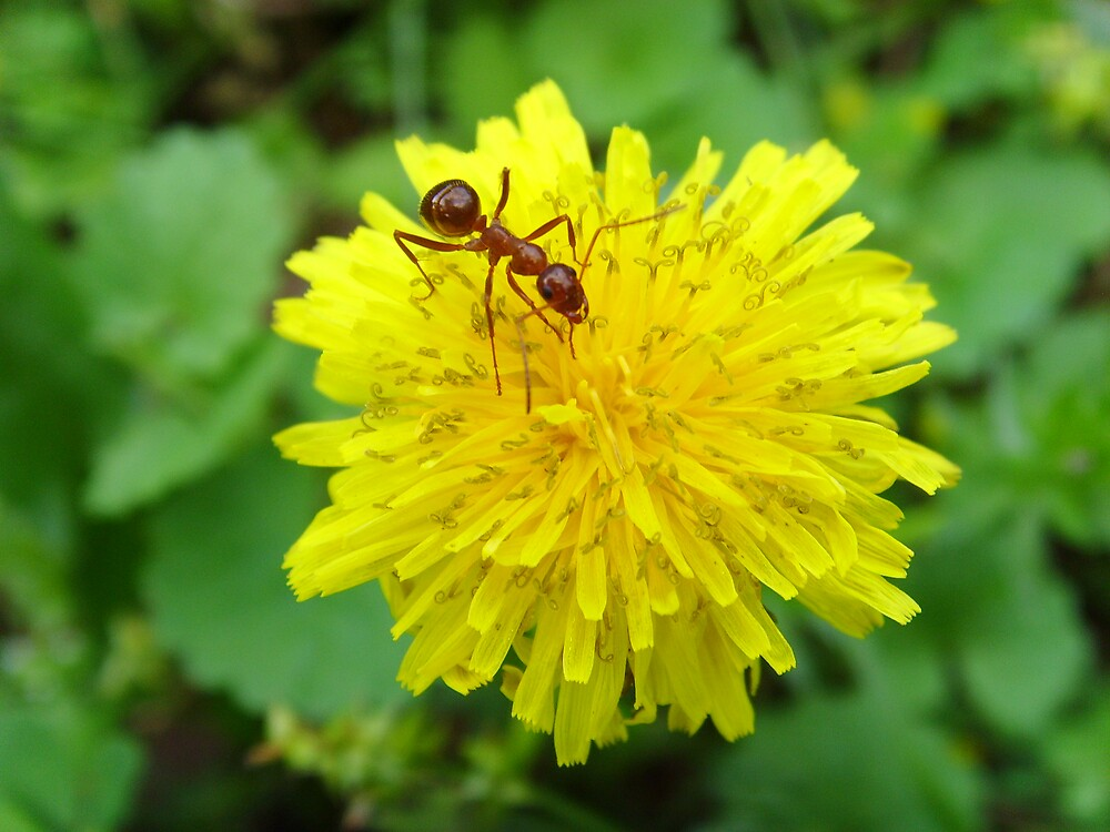 Ant on a Dandelion  by kelleybear
