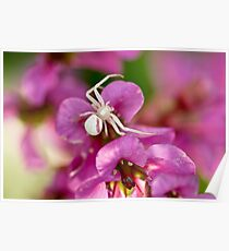 Pink and White Crab Spider Poster