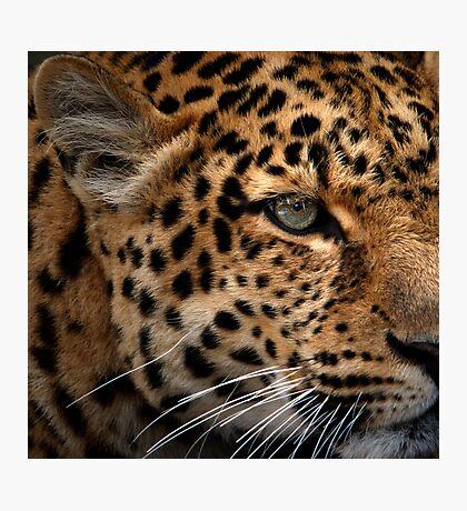 Leopard Focus Photographic Print