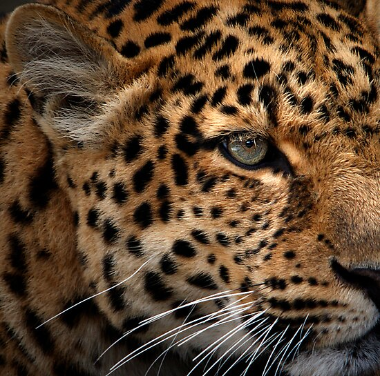 Leopard Focus by Bobby McLeod