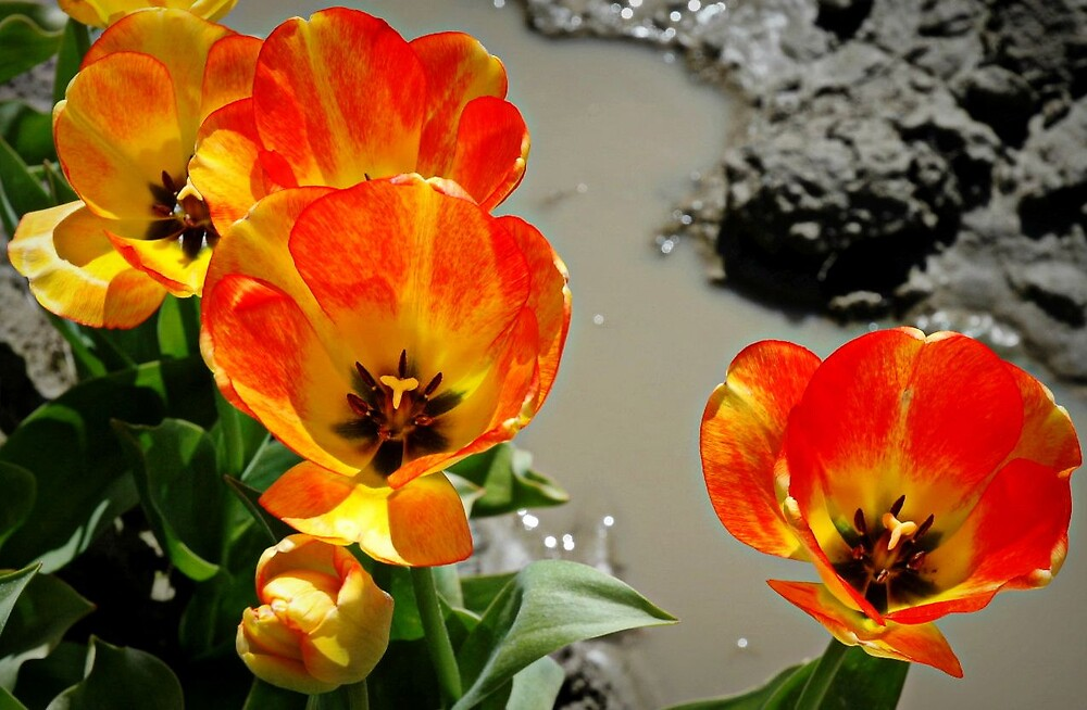 tulips by clare scott