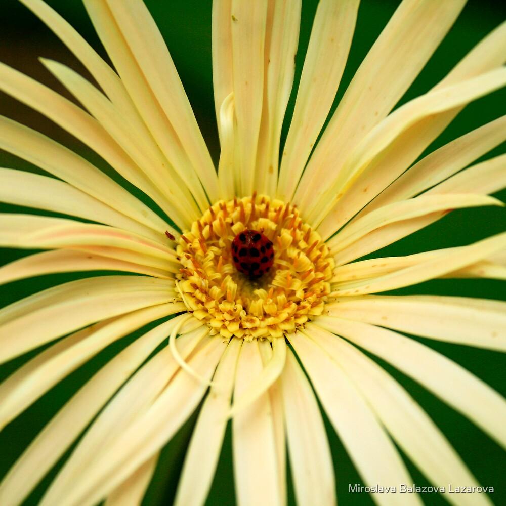 flower by Miroslava Balazova Lazarova