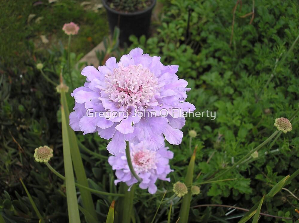 Purple Bloom by Gregory John O'Flaherty