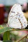 White Morpho II by PhotosByHealy