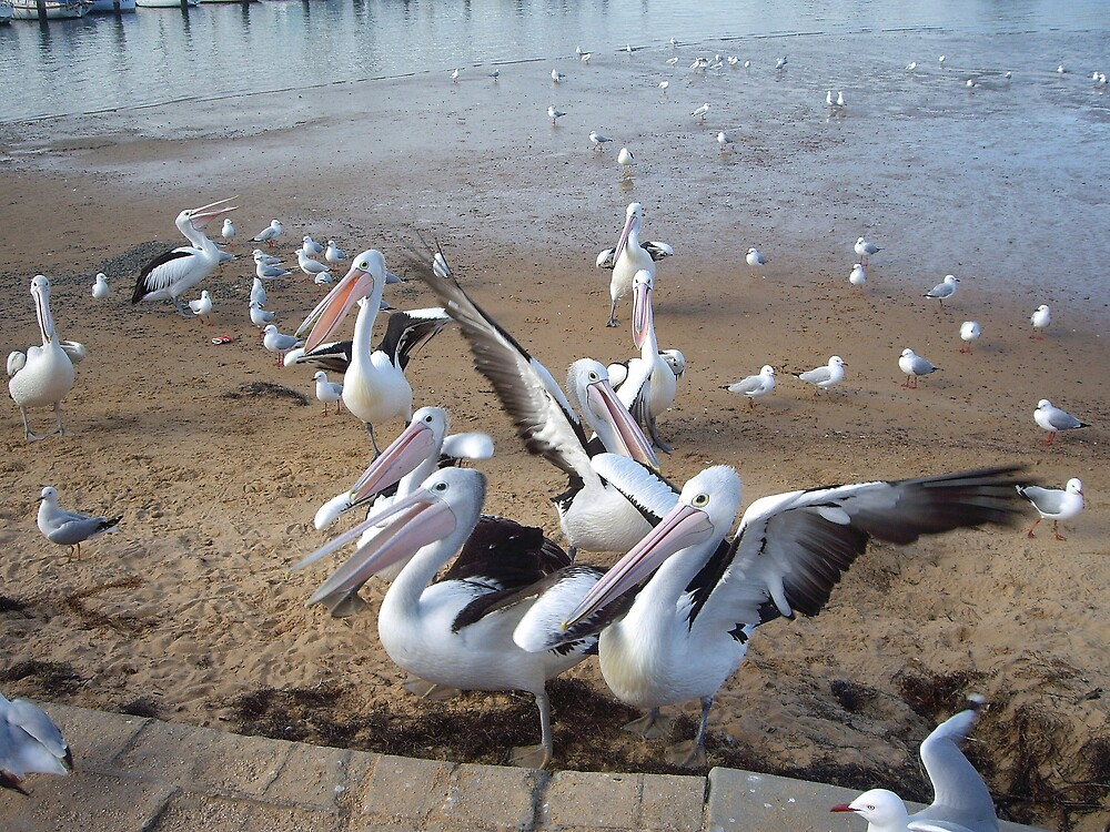 Pelican Squabble by Chris Kean