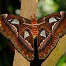 Atlas Moth by Bonnie T.  Barry