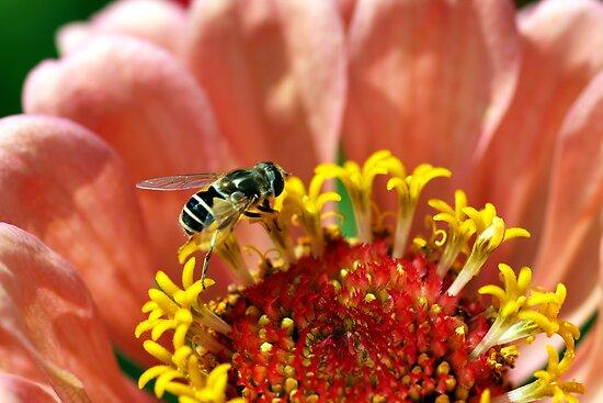 Tiny Bee on a Flower by DARRIN ALDRIDGE