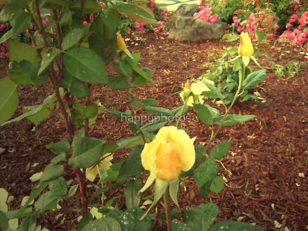 2 yellow rose buds by happyphotos