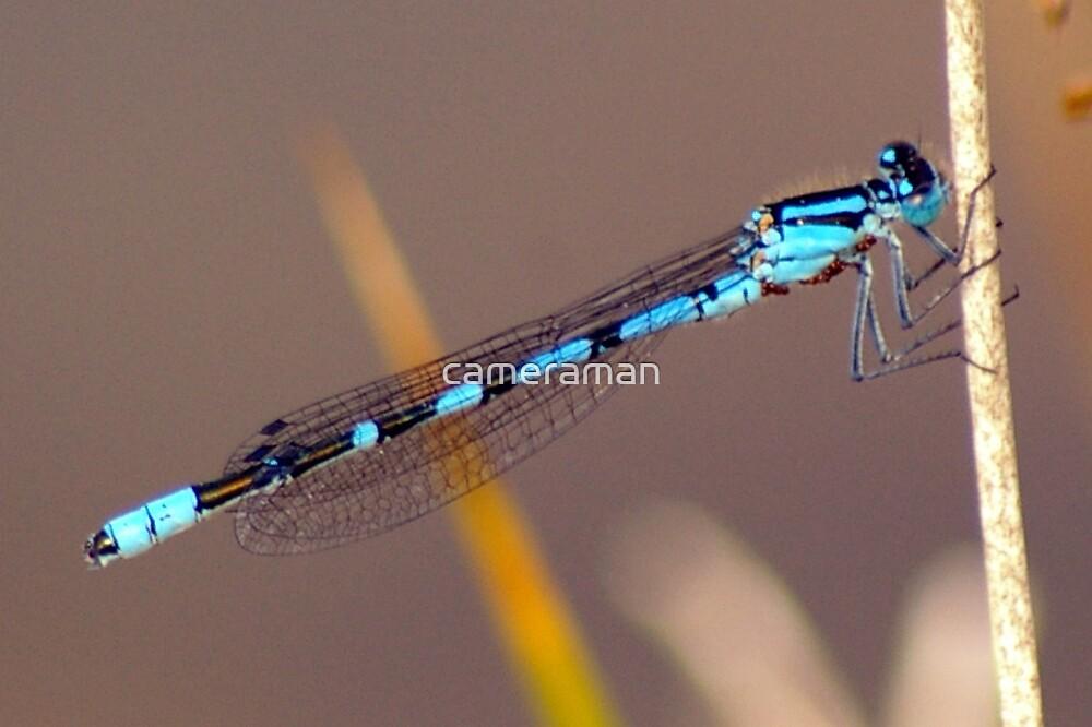 damsel fly by cameraman