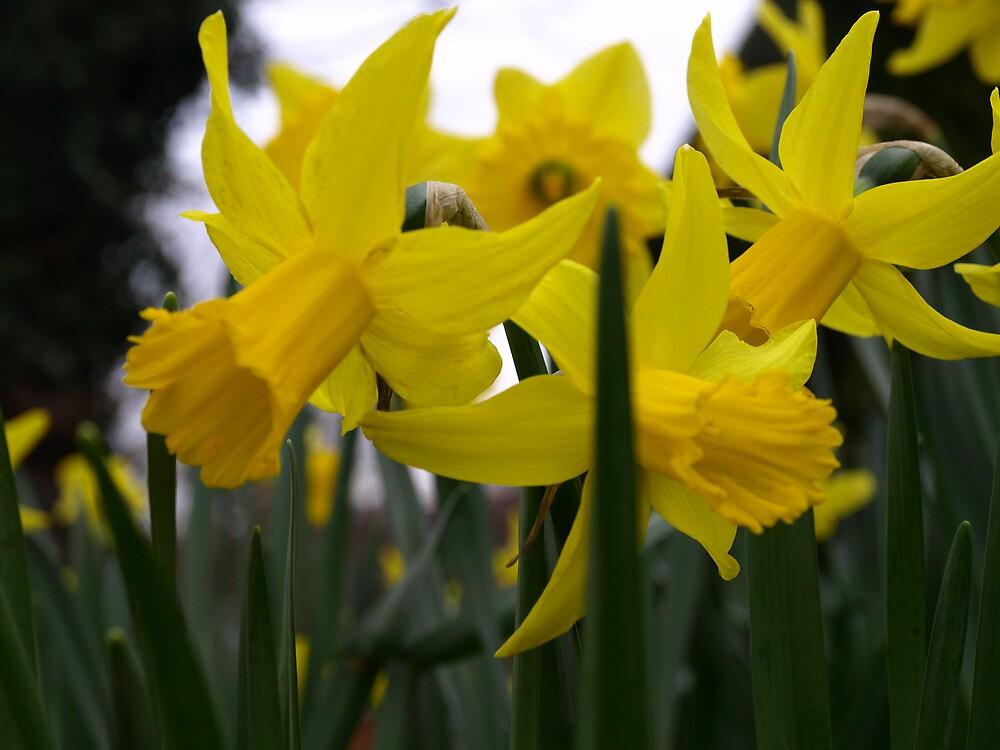 daffodils by makpics