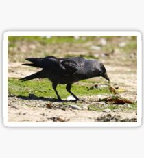 jackdaw with crab Sticker