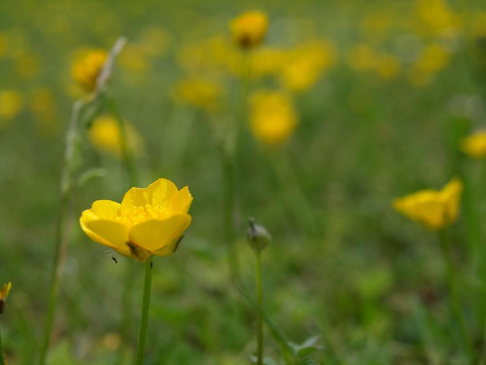 buttercups by makpics
