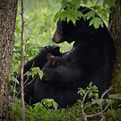 Cades Cove Bear III by Douglas  Stucky