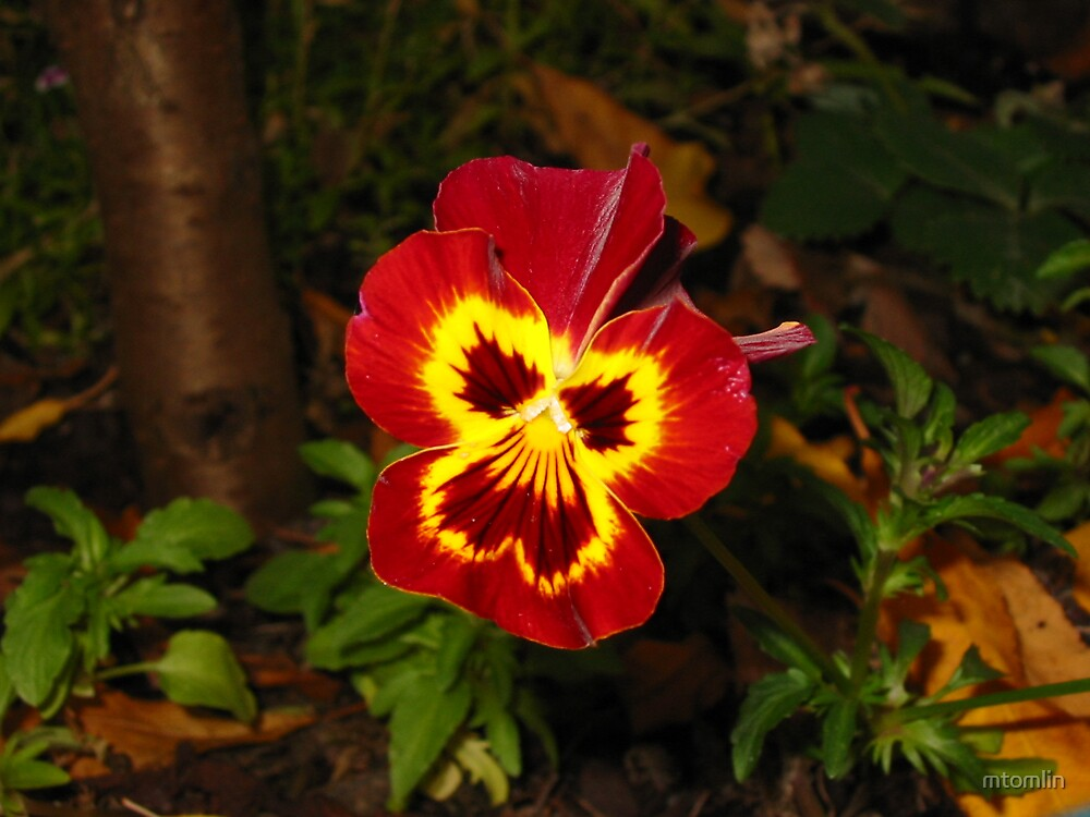 Red pansy by mtomlin