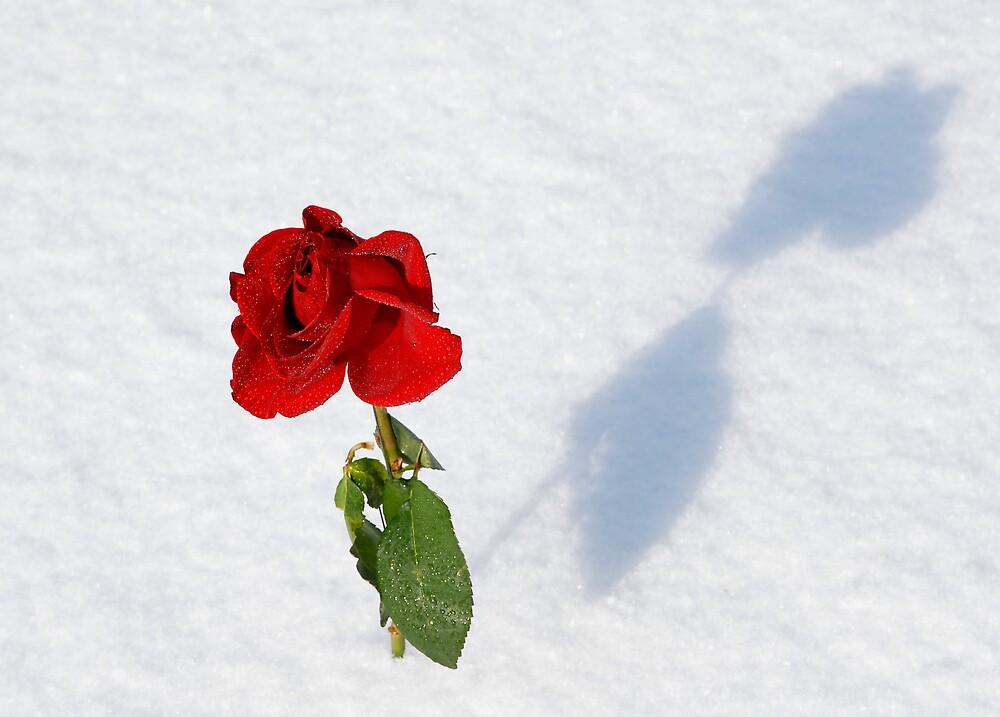 winter rose by derrickh