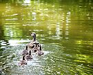 Duck Family by lindsycarranza